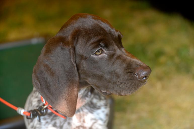 gun dog puppy tethered
