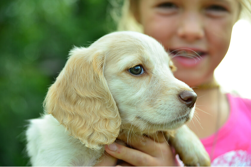 Young Girl Holding a Cocker Spaniel Puppy
