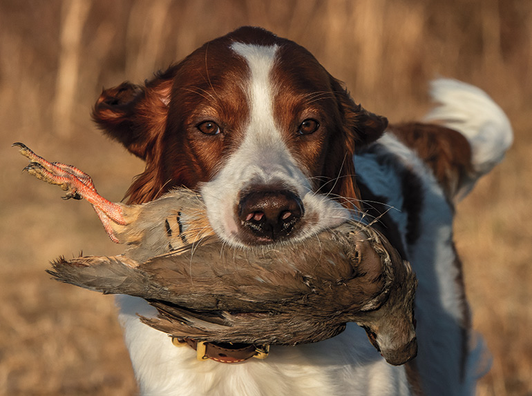 Irish red and white setter carrying bird