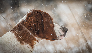 The Irish red and white setter is an intelligent, hard hunter that aims to please.