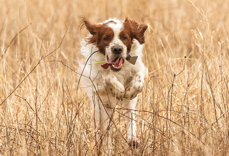 Irish red and white setter running through brush