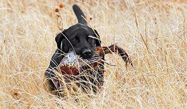 There are a litany of ways an upland dog can get injured during the season, so do your part to reduce those risks.