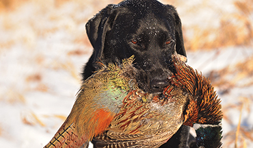 Get your gun dog on public land roosters when most hunters have given up for the season.