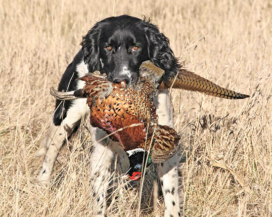 Munsterlander retrieving pheasant in field