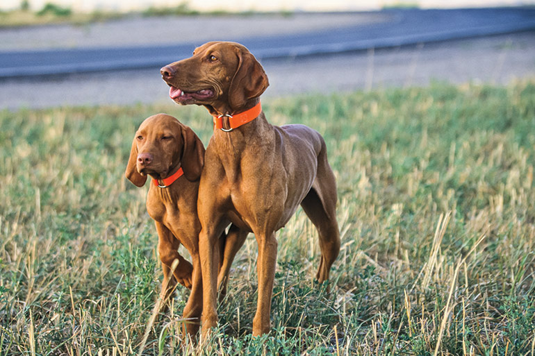 How to Introduce a New Puppy to an Old Gun Dog
