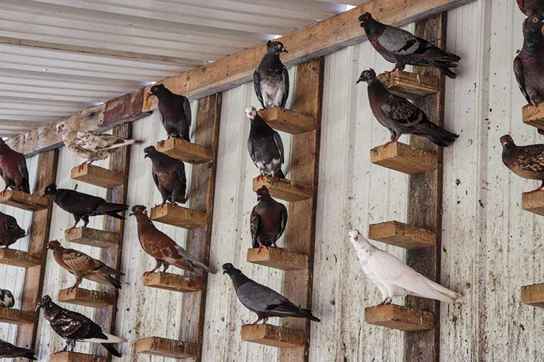 grand groupe de pigeons perchés