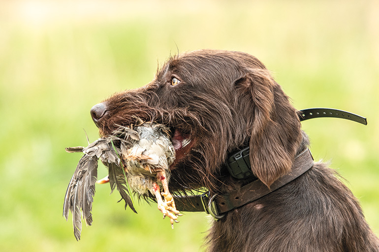 Pudelpointer carrying bird in mouth
