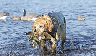The days are short for your aging bird dog, so make them count.