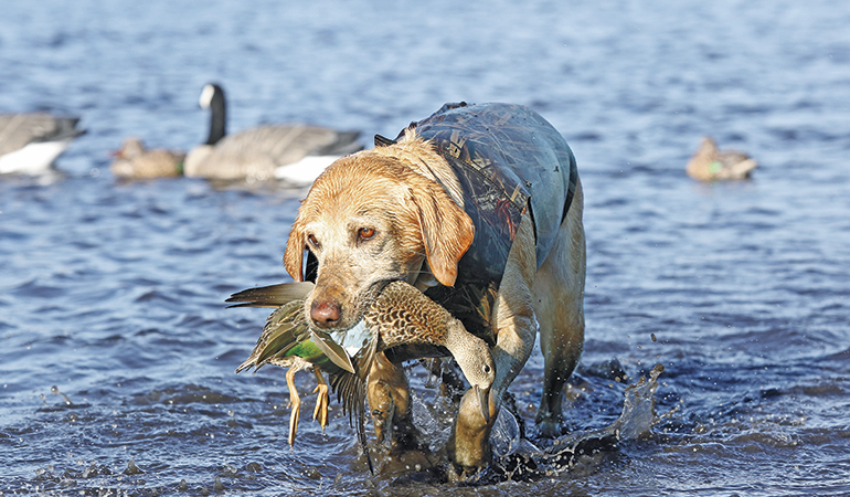 How to Care for a Senior Gun Dog