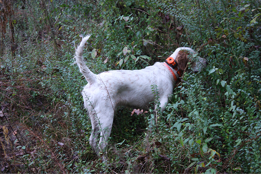 Setter on point in the spring woodcock woods