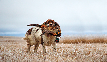 Determine which flushing breed is best for your hunting needs.