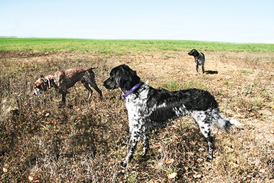 three hunting dogs in the field