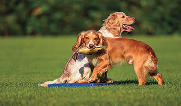 The hard part about training gun dogs is getting them to go against their natural behaviors.