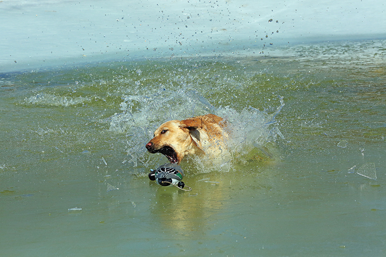 yellow lab retrieving in bay