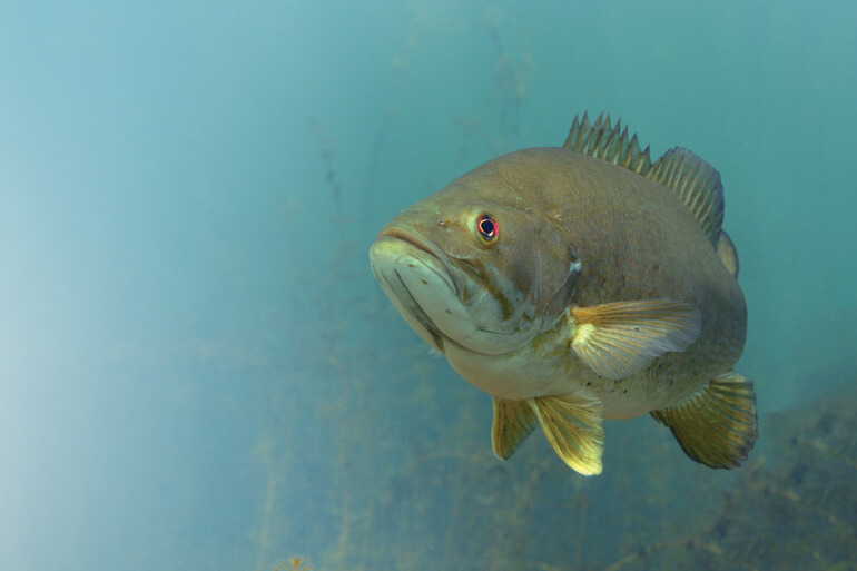 Bass have been by far the most successful fresh­water predator across the North American continent.