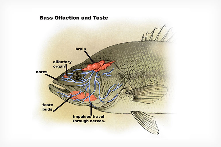 //content.osgnetworks.tv/infisherman/content/photos/Bass-Senses-Illustration.jpg
