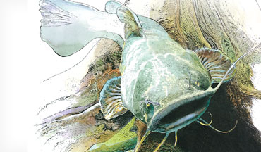 In the flathead catfish world, there's probably nothing more conventional than fishing with big, aggressive livebaits.