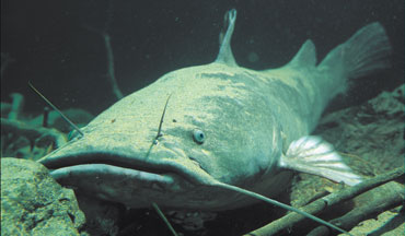 In every environment they're found, flathead catfish are an apex predator.