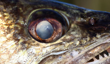 A short-hand version of what we know about walleye vision goes like this.