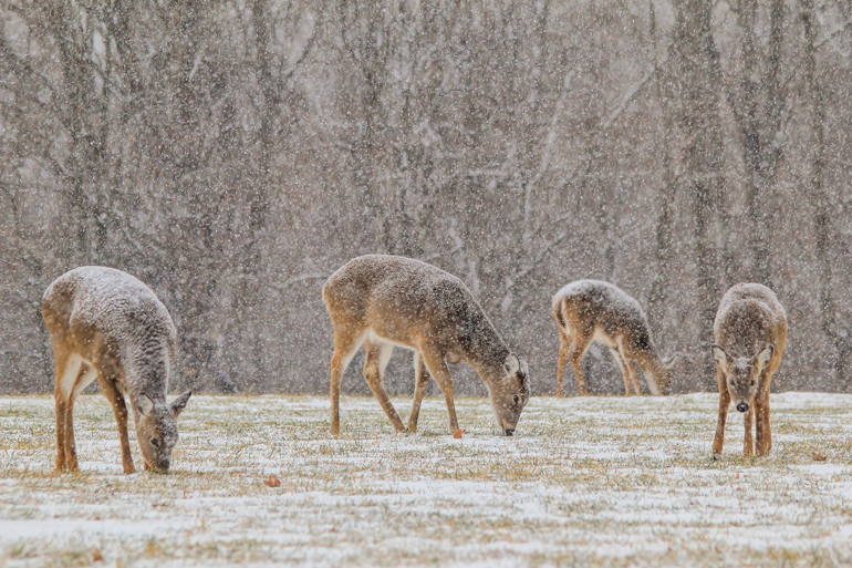 Maine Hopes for Record Doe Harvest