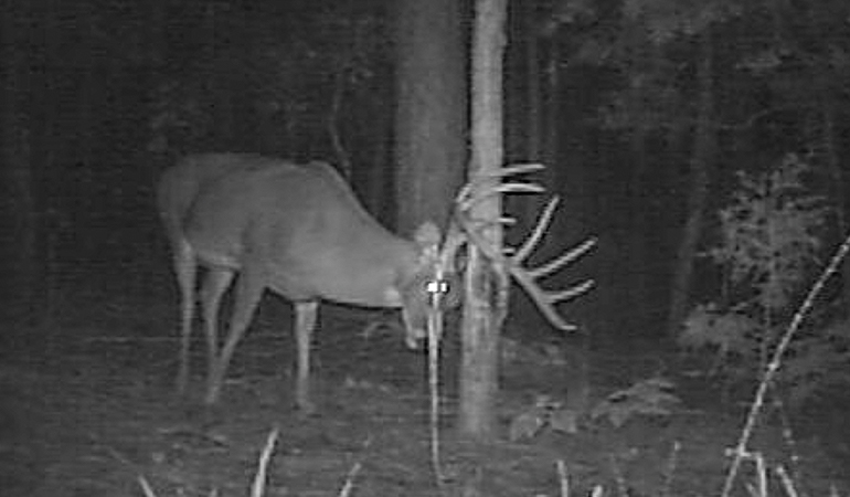 Whitetail Messaging: Why Deer Rely on Scent
