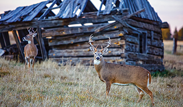 To figure out where mature bucks are hiding, leave no stone unturned.