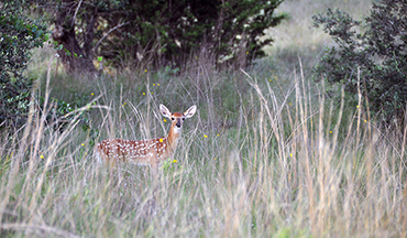 Tips and info on mowing your pastures/foodplots and how best to avoid fawns and turkey poults that be might tucked away in that tall grass.