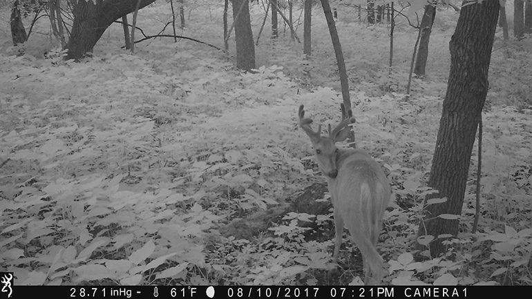 nighttime trail cam photo of velvet buck
