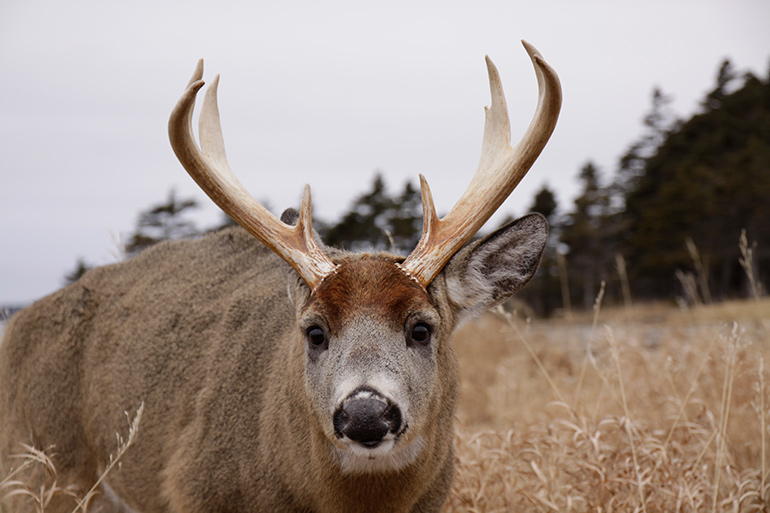 closeup of whitetail buck