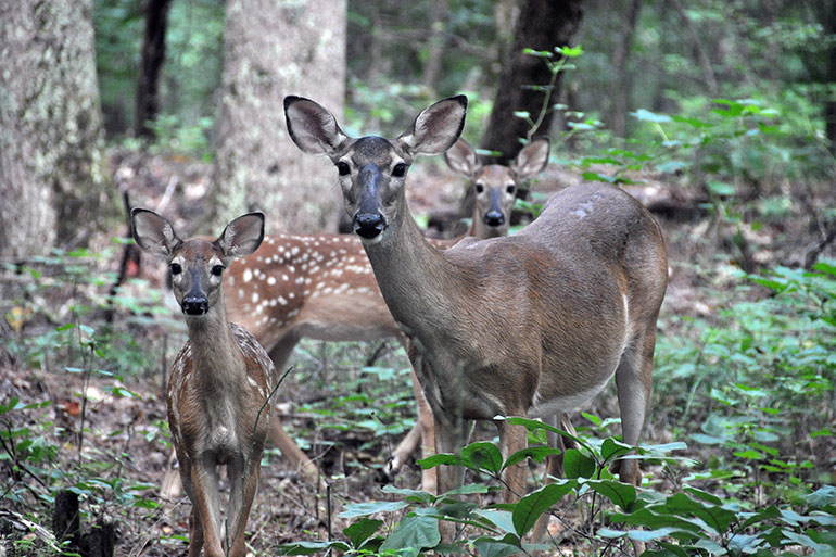 whitetail doe and fawns in woods