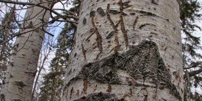 Scratch marks like these on an aspen tree show where a black bear has marked its territory. (Steve bowman photo)