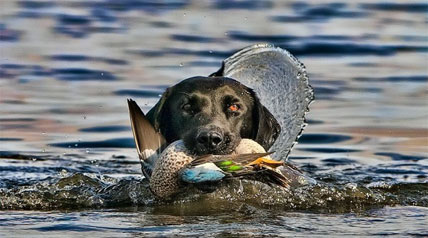 Get the 2013-2014 bow, muzzleloader, firearm, and youth hunting season dates for hunting duck and coot.