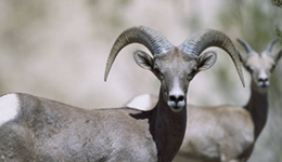 Nevada Bighorn Continue to Succumb to Pneumonia