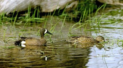 Kentucky waterfowl hunters now have four additional days in September to pursue teal.
