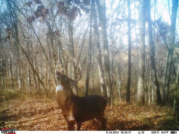 The author captured this public land brute during the peak rut in             Missouri. He never saw this buck before, and sadly never saw him again after this.
