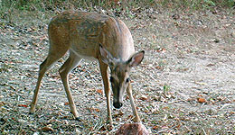 Many hunting clubs have instituted practices limiting the harvesting of
