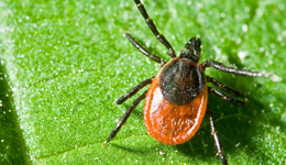 This year, 2011, has been a bad year for ticks and looks to only get worse.  Here are some helpful hints for avoiding ticks and tick diseases while in the outdoors.
