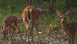"While today's deer hunter is far more knowledgeable about whitetail biology and behavior than ever before, two common myths surrounding does and fawns remain.  First, many hunters believe that once a doe reaches a certain age she becomes ""barren"" and stops producing fawns."
