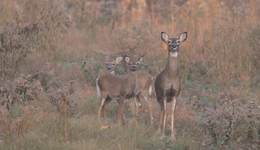 The year 1999 probably wasn't one many hunters considered significant from a deer management perspective, but it sure was to me.  It was the first year on record that more antlerless deer were harvested nationwide than antlered bucks.