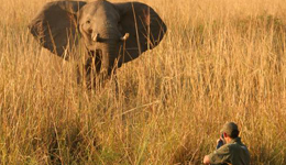 Good news for elephant hunting enthusiasts.  The U.S. Fish and Wildlife Service will allow the importation of 20 elephant hunting trophies annually from Zambia starting this 2011 season.
