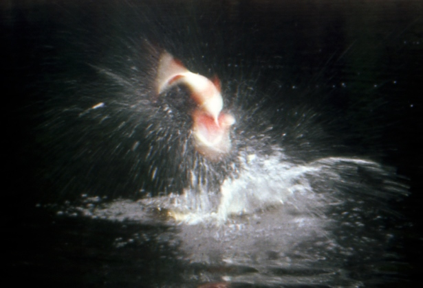 Keith Sutton managed to freeze a high-jumping peacock bass exploding on a lure in this image. (Keith Sutton photo)