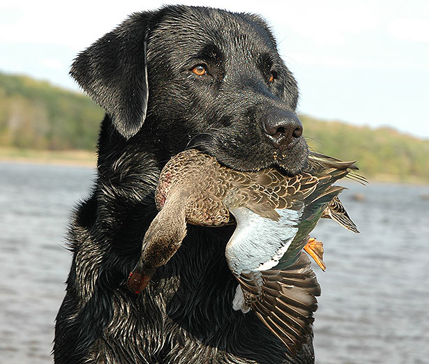 Kent's lab poses with a retrieved teal. (Lynn Burkhead photo)