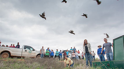 With a crowd consisting of biologists, Paducah High School students, media members, and local citizens, biologists from the Rolling Plains Quail Research Ranch released 36 scaled quail from three different sites.