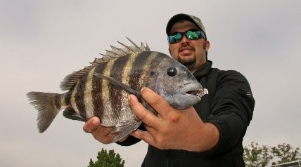 A noted nibbler and often a frustrating bait-stealer, the sheepshead are built for pecking barnacles and small mollusks off the pilings of docks and piers.