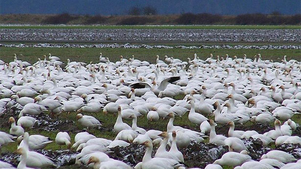 Snow Goose Problem Equals Opportunity