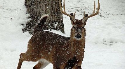 Despite inordinate, lengthy periods of sub-freezing temperatures as well as heavy snowfall and icy conditions in areas that rarely see either, wildlife biologists in the South say deer populations in those regions will continue to survive and thrive.