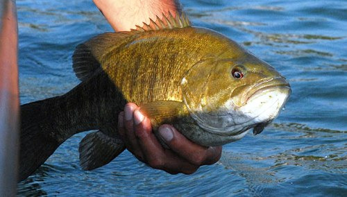 Smallie fish