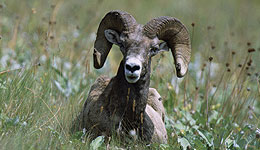 While three consecutive severe winters played a significant role in reducing many of the state's western big game populations, overall bighorn sheep numbers are strong.