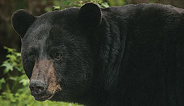 Bear Hunter Injured by Black Bear
