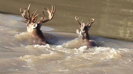 Makayla Hay had her eye on a gnarly 23-point buck as the Texas firearms opener approached—but then so did almost every other deer hunter in Madison County after a photograph of the bruiser swimming the Trinity River appeared in the local newspaper in October.